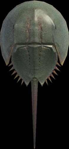 Animal Crossing New Horizons Horseshoe Crab Image