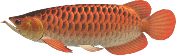 Animal Crossing New Horizons Arowana Image