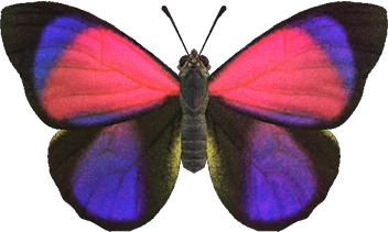 Animal Crossing New Horizons Agrias Butterfly Image