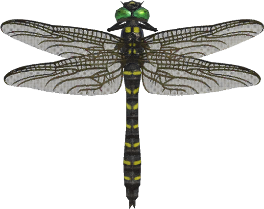 Animal Crossing New Horizons Banded Dragonfly Image