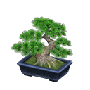 Main image of Pine bonsai tree