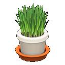 Main image of Cat grass