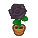 Image of Black-rose plant